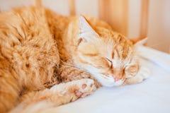 Gullig sova ljust r?dbrun katt p? vit s?ng begrepp av lugna och hemtrevlig komfort av husdjuret röda kattsömnar arkivfoton