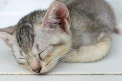 Gullig sova silver Grey Kitten arkivbilder