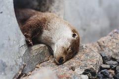 Gullig sova utter Arkivfoto