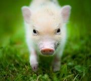 Gullig spädgris av det mini- svinet arkivbilder