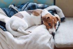 Gullig stålarrussell hund som sover på det varma omslaget av hans ägare Dog att vila eller att ha en siesta som dagdrömmer royaltyfri fotografi