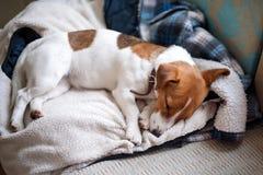 Gullig stålarrussell hund som sover på det varma omslaget av hans ägare Dog att vila eller att ha en siesta som dagdrömmer Arkivfoton