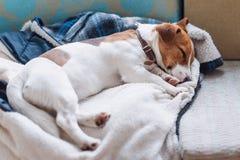 Gullig stålarrussell hund som sover på det varma omslaget av hans ägare Dog att vila eller att ha en siesta som dagdrömmer Royaltyfria Bilder