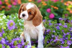 Gullig stolt konung Charles Spaniel Puppy Royaltyfri Fotografi