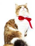 Gullig strimmig kattkatt med den röda flugan på vit bakgrund slapp fokus Arkivfoton