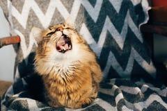 Gullig strimmig kattkatt som sitter och g?spar i stilfull stol i soligt rum Maine tv?ttbj?rn med gr?na ?gon och roliga sinnesr?re arkivbild