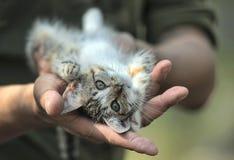 Gullig strimmig kattkattunge i händerna Fotografering för Bildbyråer