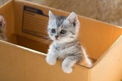 Gullig strimmig kattperserkattunge fotografering för bildbyråer