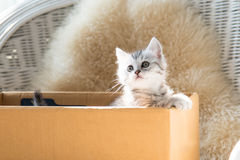 Gullig strimmig kattperserkattunge royaltyfri fotografi