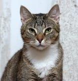 Gullig strimmig kattshorthairkatt Arkivfoto