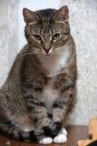 Gullig strimmig kattshorthairkatt Arkivfoton