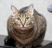 Gullig strimmig kattshorthairkatt Arkivbilder