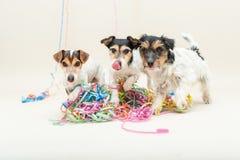Gullig stygg hund för parti tre Jack Russell hundkapplöpning som är klar för karneval royaltyfria bilder
