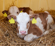 Gullig sund liten kalv som två ligger på sugrör Royaltyfri Bild