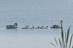 Gullig svanfamilj med små fågelungar fotografering för bildbyråer