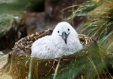 Gullig Svart-Browed albatrossfågelunge på gyttja- och gräsrede, albatross- och pingvinråkkoloni, Falkland Islands royaltyfria bilder