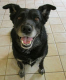 Gullig svart hund Arkivfoton