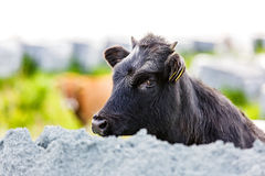 Gullig svart kalv arkivfoton