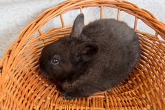 Gullig svart kanin, easter kanin, Moravia region, tjeckiska Rebublic Arkivfoto