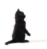 Gullig svart kattunge på vit Royaltyfri Fotografi