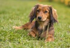 Gullig taxhund royaltyfri foto