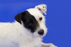 gullig terrier Arkivfoton