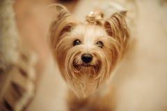 gullig terrier yorkshire royaltyfria bilder