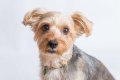 gullig terrier yorkshire Arkivbilder