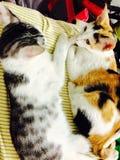 Gullig thailändsk kattsömn Arkivfoto