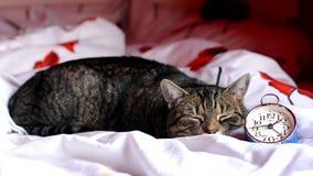 Gullig trött katt som ligger bredvid den gamla tappningklockan stock video