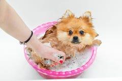 Gullig tvättad hundSpitz Royaltyfri Foto