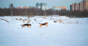 Gullig två blandad avelhundkapplöpning som spelar utanför i ett snöfält royaltyfri fotografi