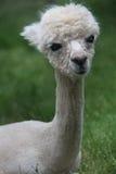 Gullig ung Alpaca med stora ögon och ett sött leende royaltyfri bild