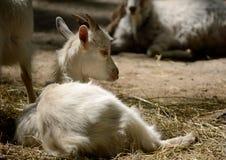 Gullig ung get som ligger i paddocken Arkivfoto