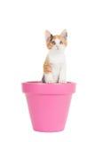Gullig ung katt i en rosa blomkruka Arkivfoton