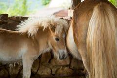 Gullig ung ponny och moder Arkivbilder