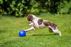 Gullig ung Springerspaniel som har gyckel som spelar med en blå boll på gräsmattan arkivbild