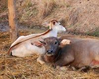 Gullig ung vattenbuffel och hans broderkalv Arkivfoto