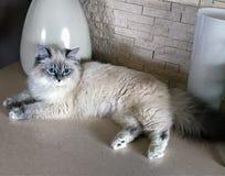 Gullig ung vit katt som ligger för stora vita vaser på golvet inom ett hus royaltyfria bilder