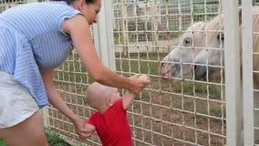 Gullig unge på ponnyn för zoomatningsgräs med hans moder Hästen med nöje äter en fest arkivfilmer
