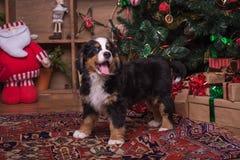 Gullig valp av berghunden som sitter nära julträd Royaltyfri Fotografi