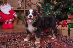 Gullig valp av berghunden som sitter nära julträd Arkivfoto