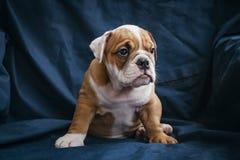 Gullig valp av den engelska bulldoggen Royaltyfri Fotografi