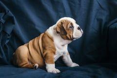 Gullig valp av den engelska bulldoggen Arkivfoto