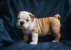 Gullig valp av den engelska bulldoggen Arkivbilder