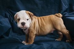Gullig valp av den engelska bulldoggen Fotografering för Bildbyråer