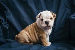 Gullig valp av den engelska bulldoggen Royaltyfri Bild