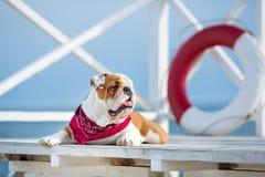 Gullig valp av den engelska tjurhunden med den roliga framsidan och den röda bandanaen på liv för hals som nästan sparar den bouy Royaltyfri Fotografi