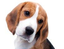gullig valp för beagle arkivfoto