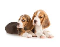 gullig valp för beagle Arkivfoton